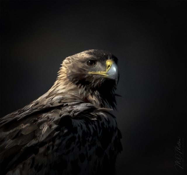 Portrait  - Spanish Imperial Eagle