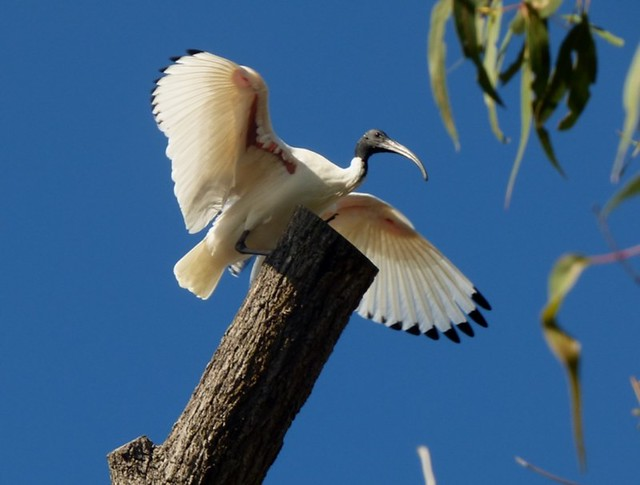 White Ibis just landed on the trunk.