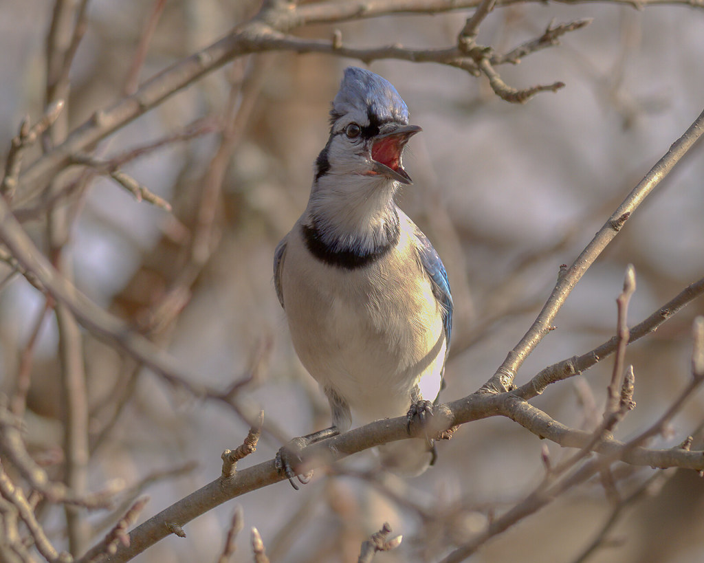 Call of the Blue Jay