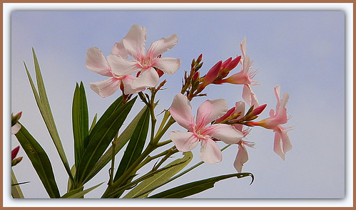 Flower Of The Day - Oleander (Nerium)