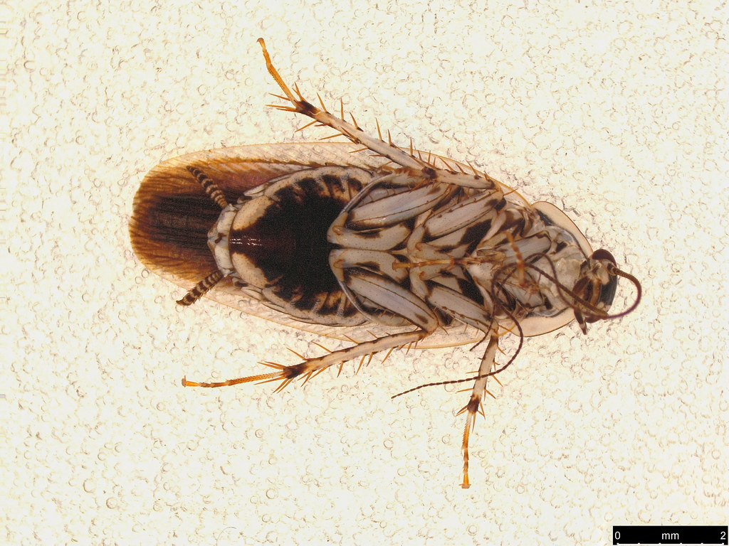 2b - Blattellinae sp.