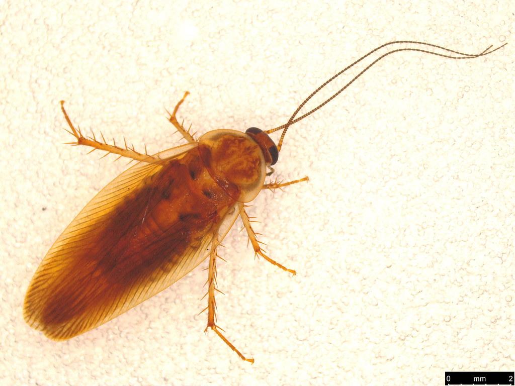 5a - Blattellinae sp.