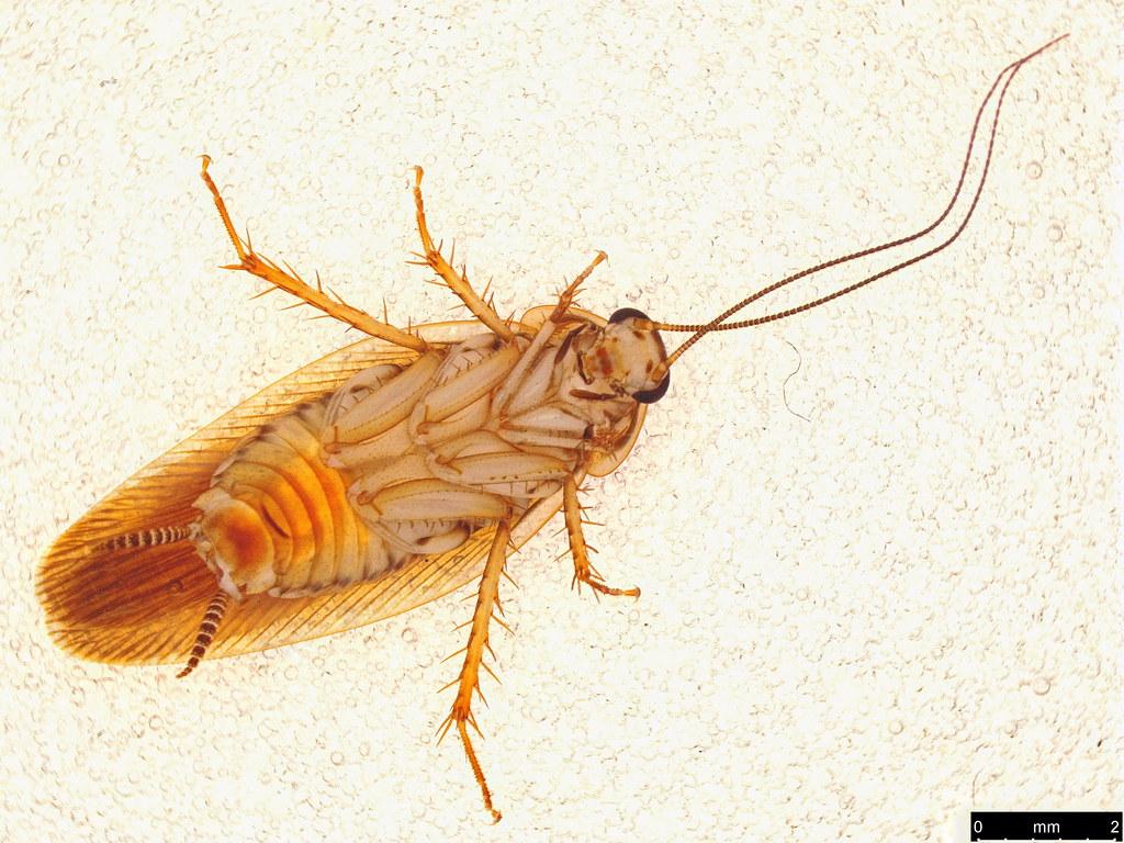 5b - Blattellinae sp.