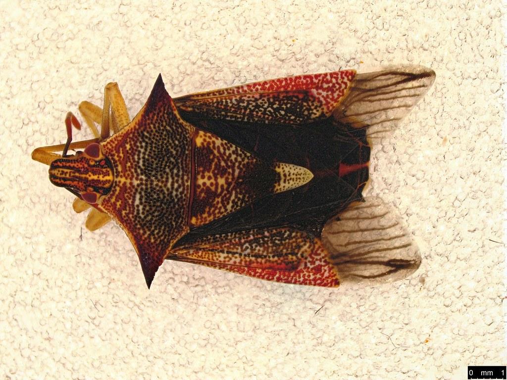 8a - Oechalia schellenbergii (Guérin, 1831)
