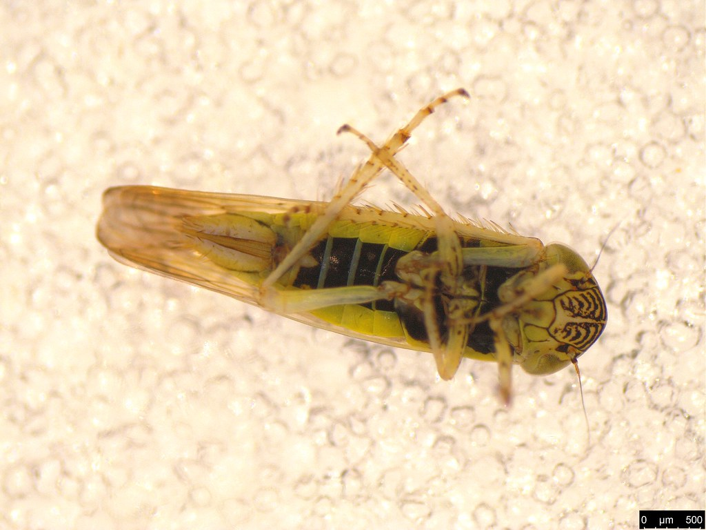 11b - Limotettix incertus Evans, 1966