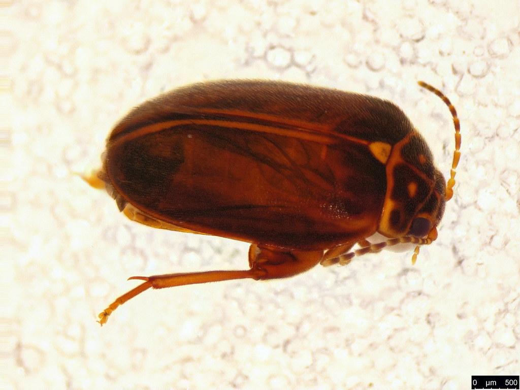 19a - Scirtidae sp.