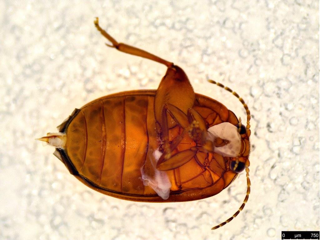 19c - Scirtidae sp.
