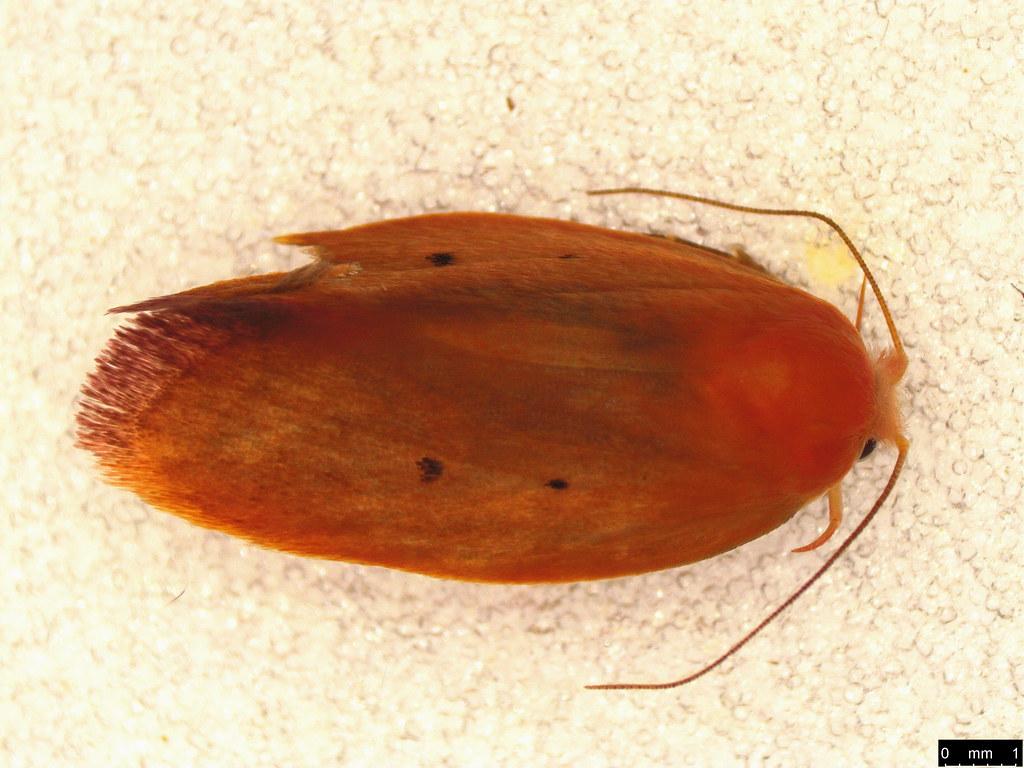 28 - Ptyoptila matutinella (Walker, 1864)