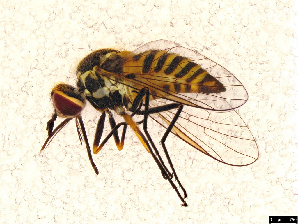 33b - Australiphthiria sp.