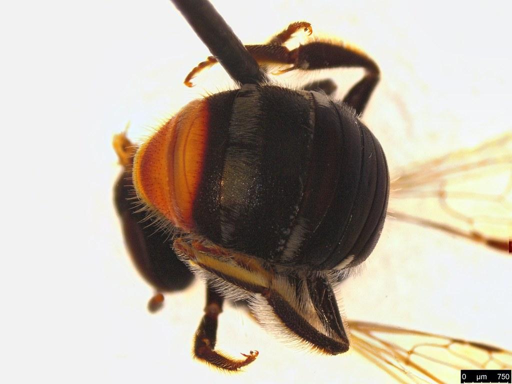 44a - Lipotriches (Austronomia) sp.