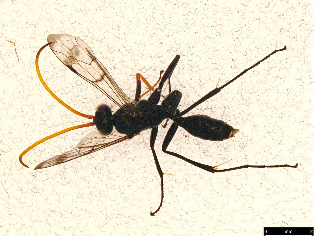 48a - Ichneumonoidea sp.