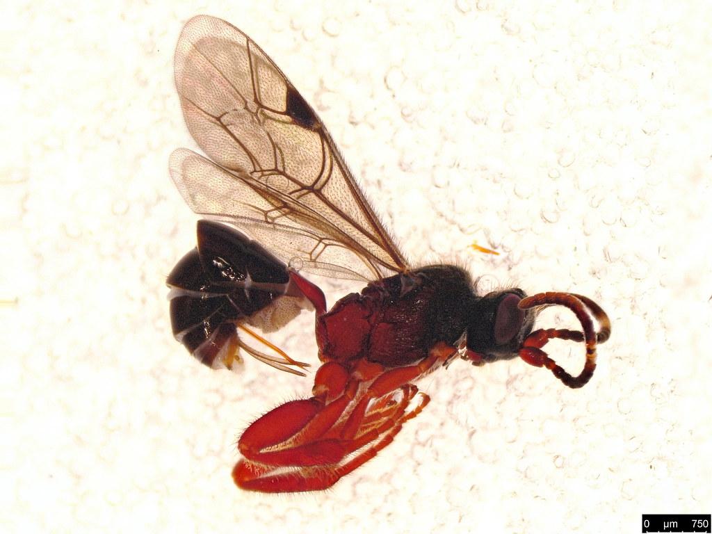 57 - Hymenoptera sp.