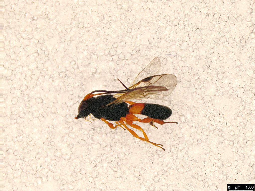 58c - Chelonus sp.