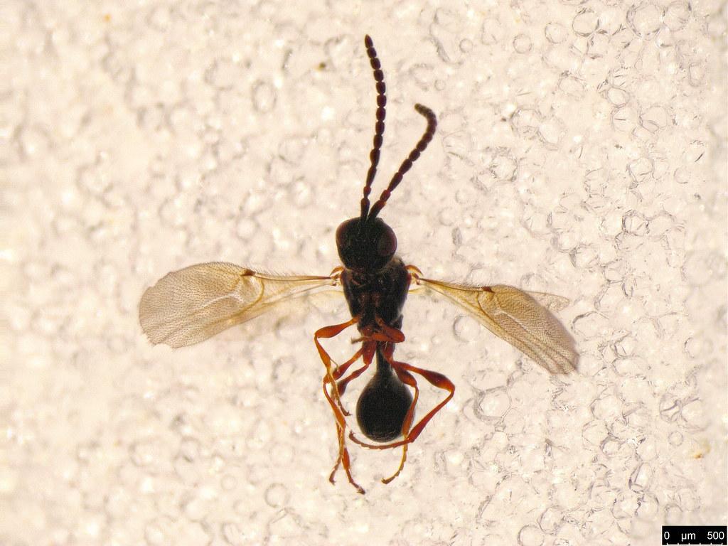59 - Spilomicrini sp.