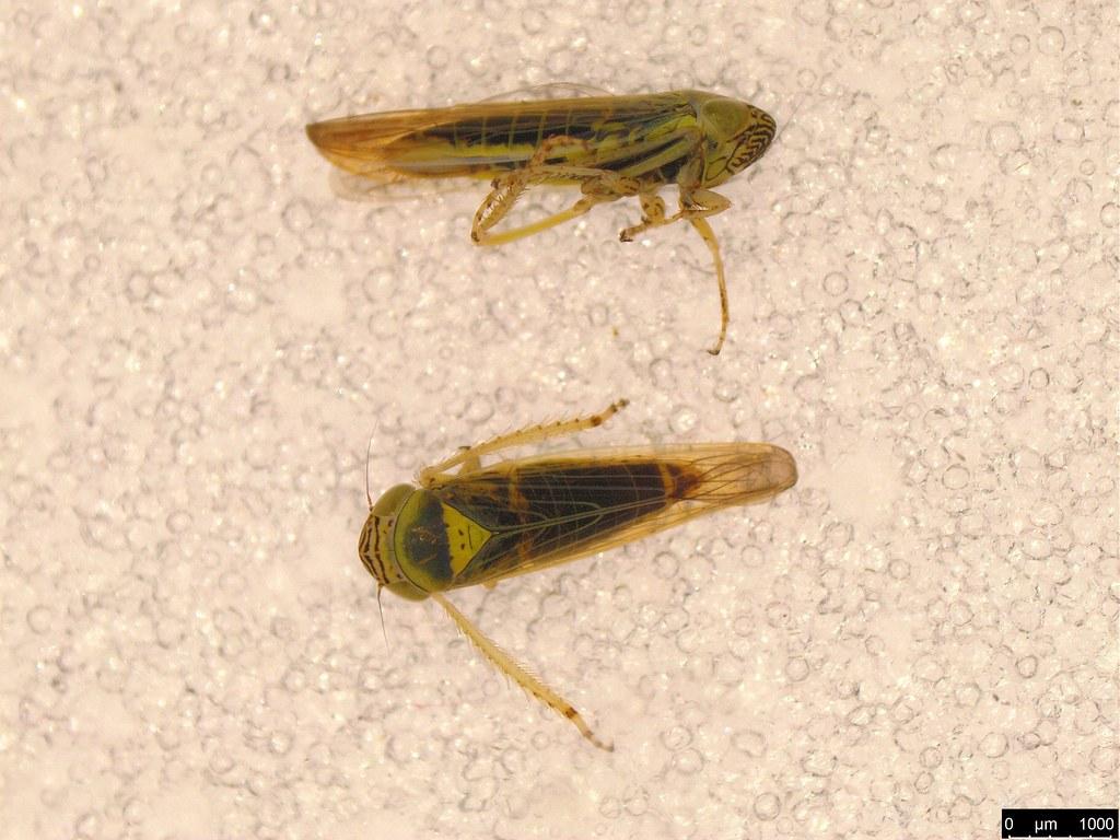 11a - Limotettix incertus Evans, 1966