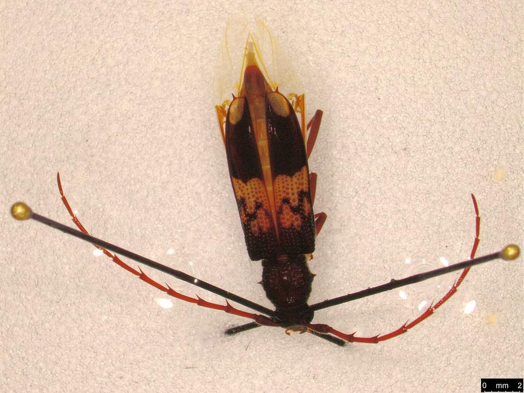 15b - Phoracantha semipunctata (Fabricius, 1775)