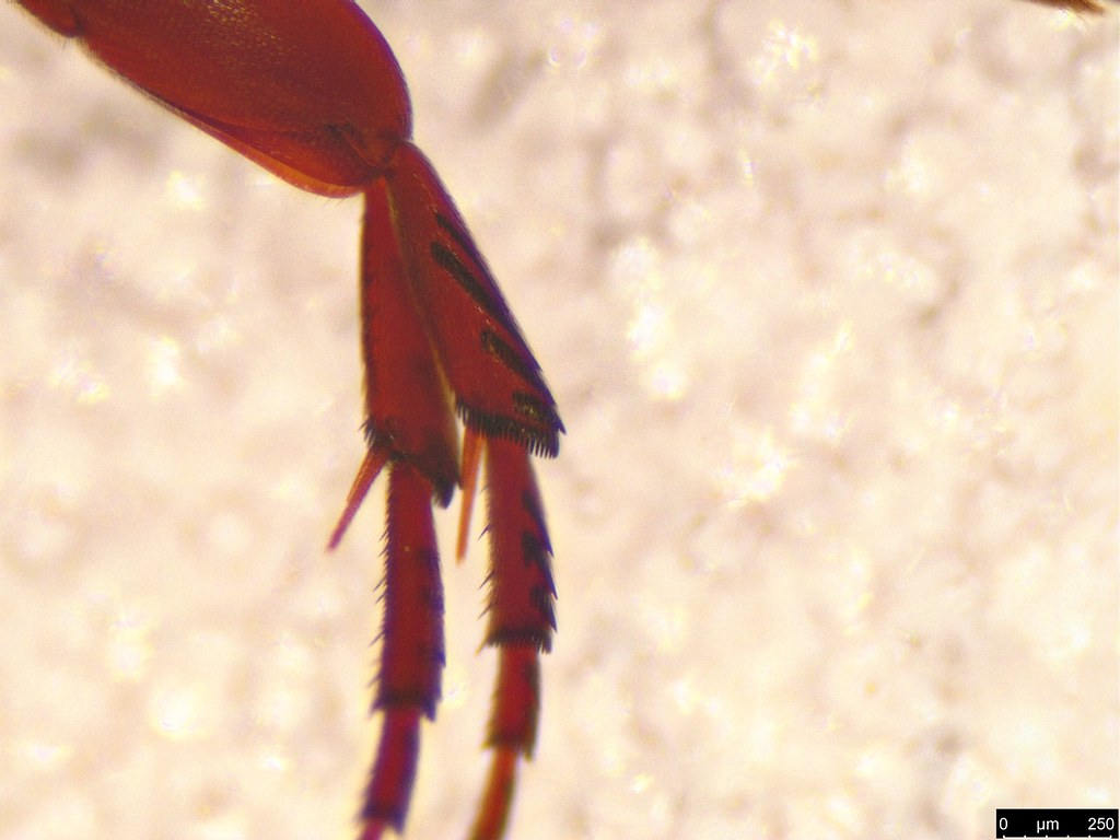 16b - Mordellidae sp.