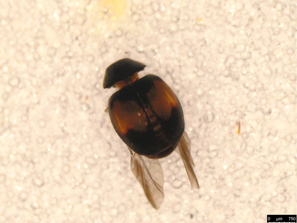 20a - Diomus notescens (Blackburn, 1889)