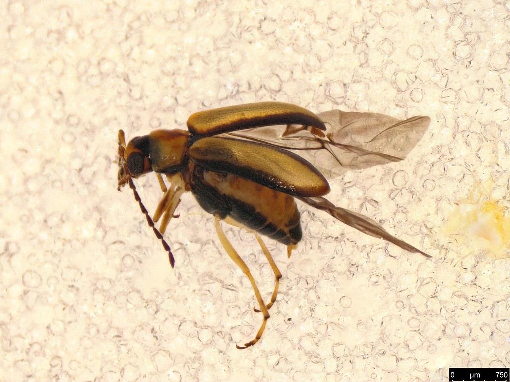 21 - Galerucinae sp.