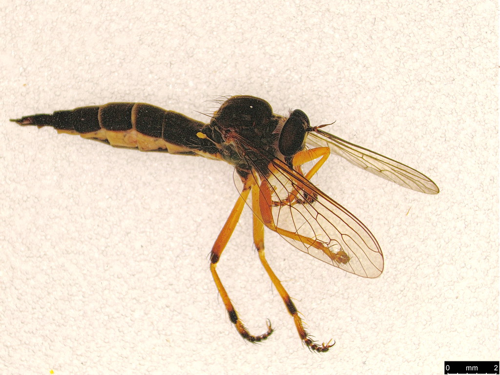 35 - Asilidae sp.