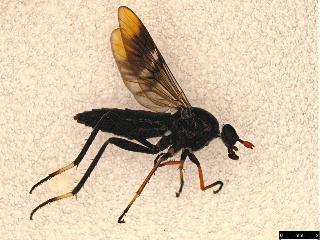 38a - Ectinorhynchus pyrrhotelus (Walker, 1854)