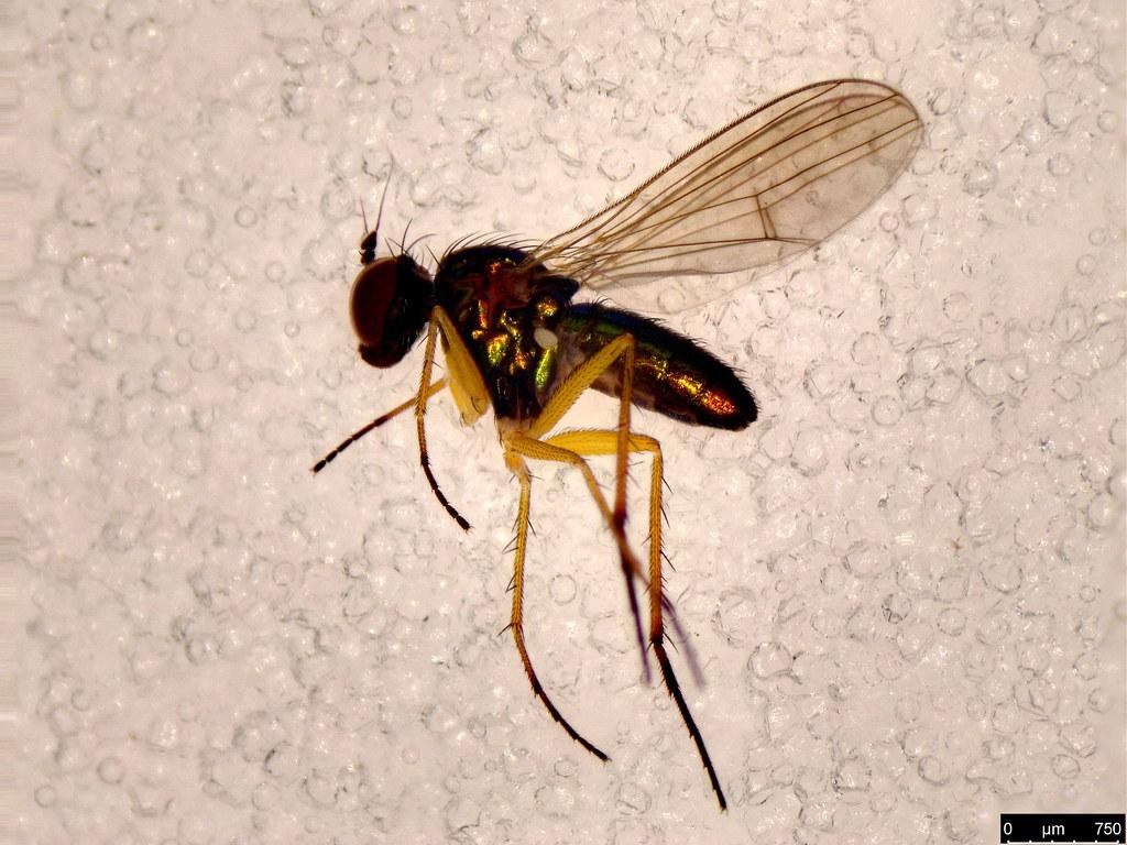 40 - Diptera sp.