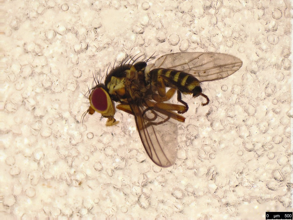 41 - Agromyzidae sp.