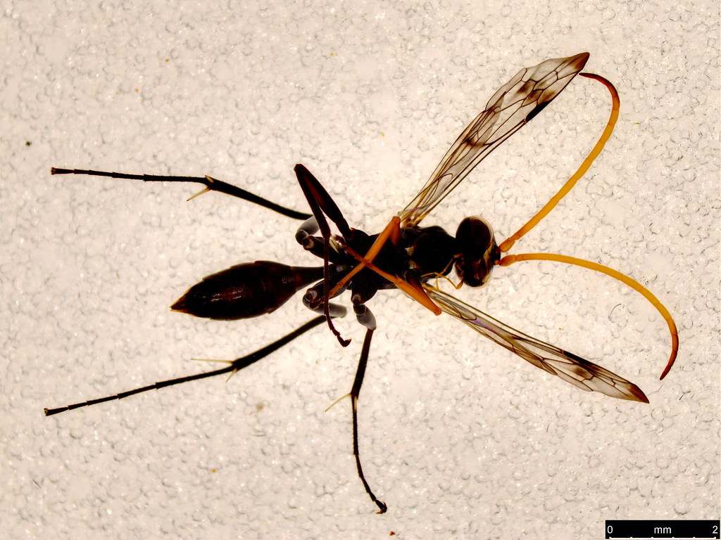 48b - Ichneumonoidea sp.