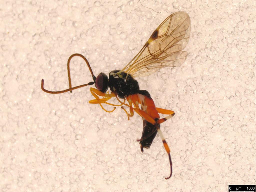 51a - Diplazon laetatorius (Fabricius, 1781)