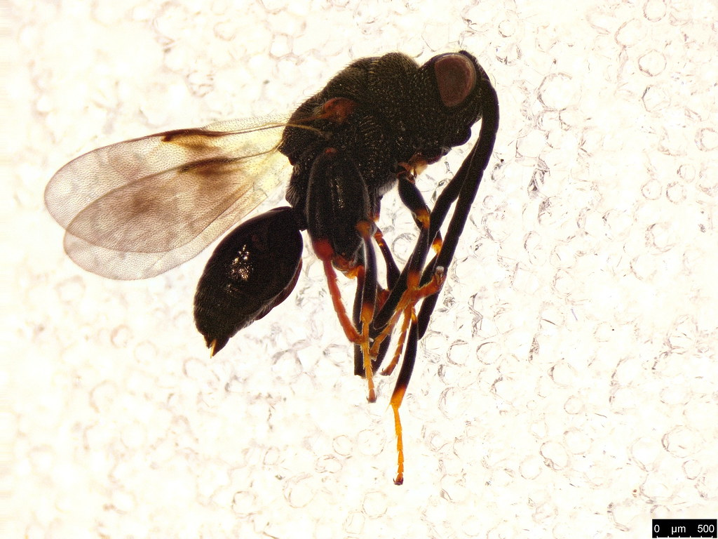 56a - Hymenoptera sp.