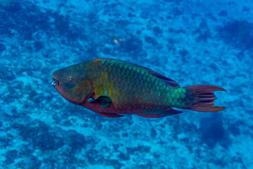Rainbow Parrotfish (2)