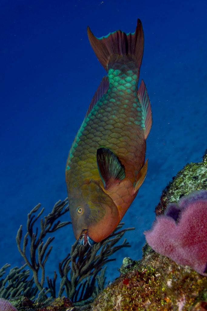 Rainbow Parrotfish (1)