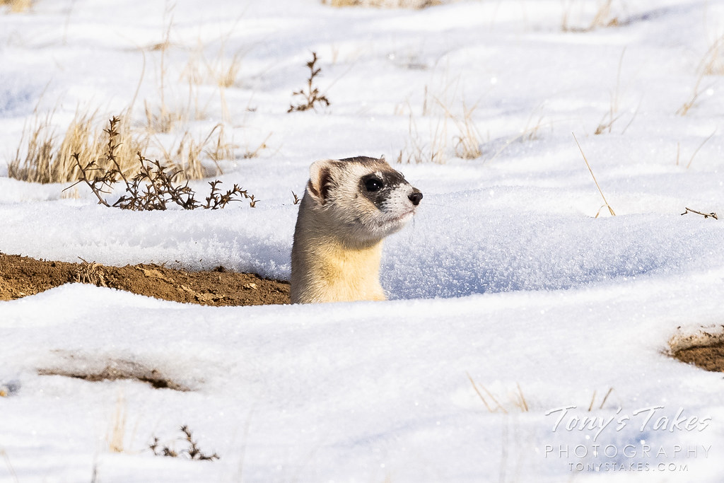 A black-footed ferret pops its head up from a burrow. (© Tony's Takes)