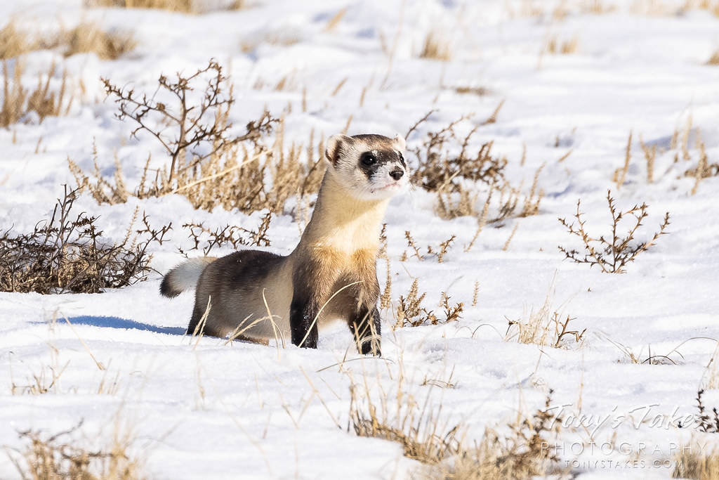 Black-footed ferret comes out to play in the snow