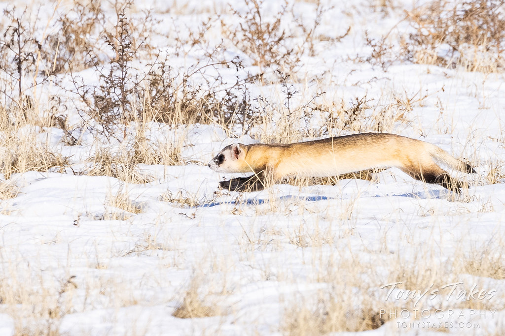 A black-footed ferret runs across the snow-covered plains. (© Tony's Takes)
