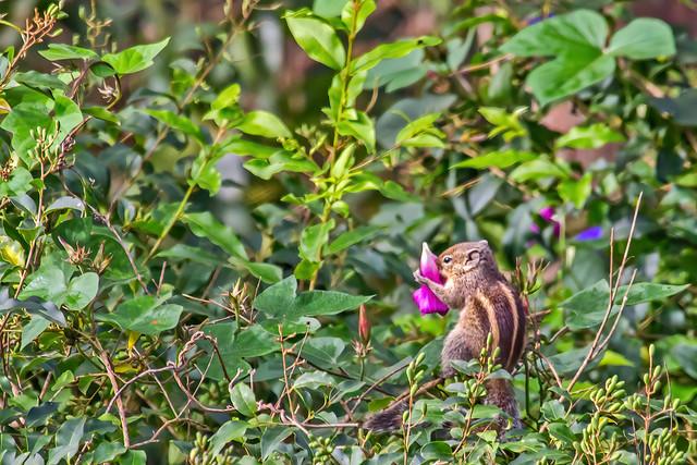 Indian palm squirrel (Funambulus palmarum), Yercaud