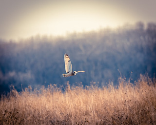 Short-Eared Owl | by charliebravo_77