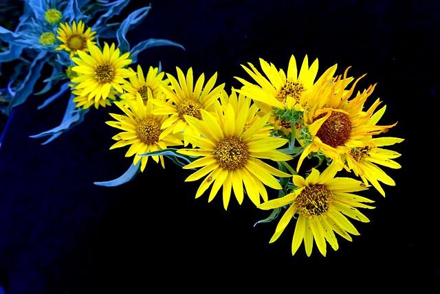 Maximillian sunflowers {Explored}