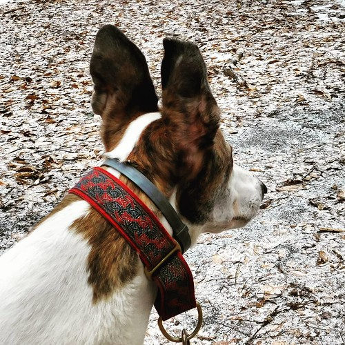 Attentive #Cane #dogsofinstagram #greyhound #greyhoundsofinstagram #ChestnutRidge #wny #orchardpark #autumn #fall #nature #hiking #trees