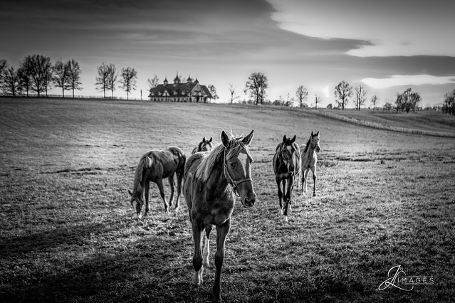 Horses in the Paddock (B&W)