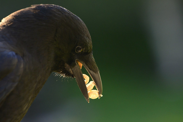 Crow having a snack