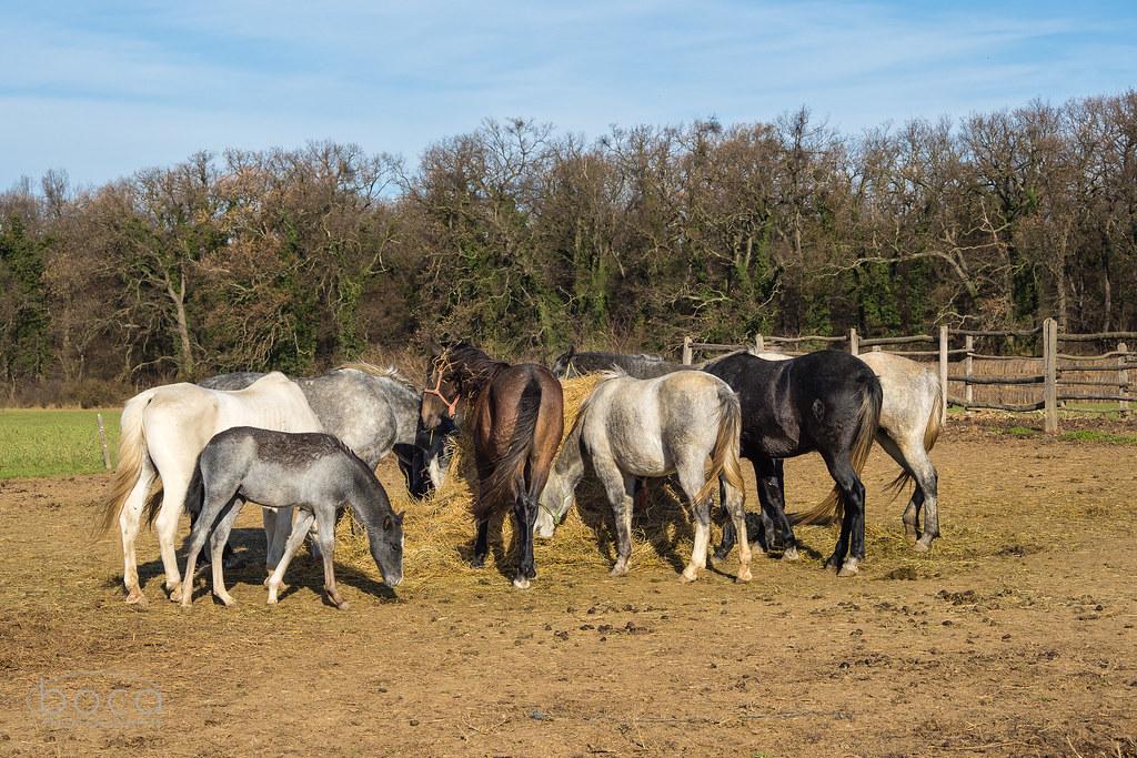 Konji iz Bojčinske šume