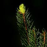Folla perenne. Árbores dignas de Frey, dignas do Natal.