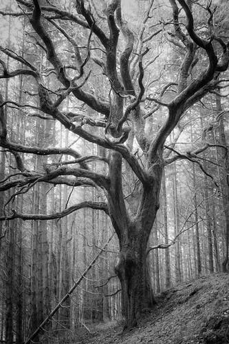 Gwryney tree (philip hayman)
