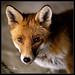 Foxy-8.jpg