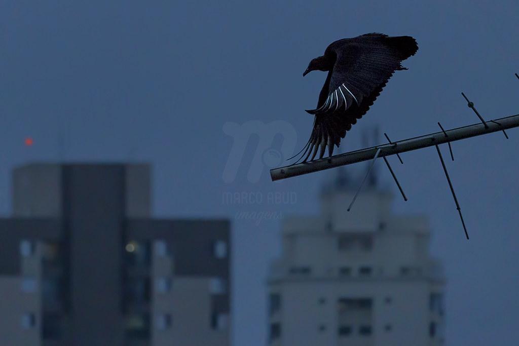 Natureza em São Paulo - Urubu de Cabeça Preta | Black Vulture | Coragyps atratus