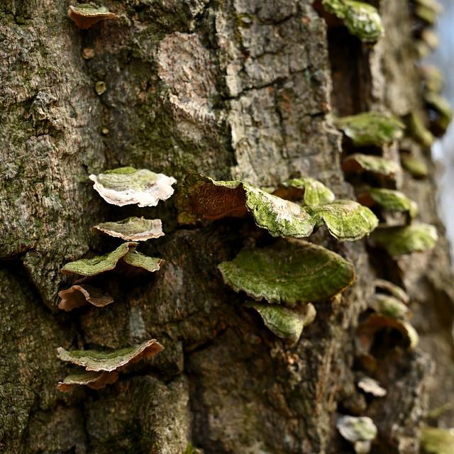 Algae on fungi on bark