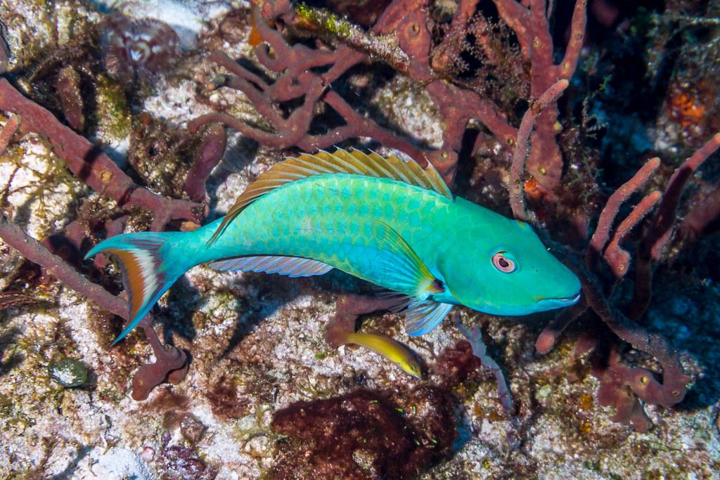 Redtail Parrotfish II