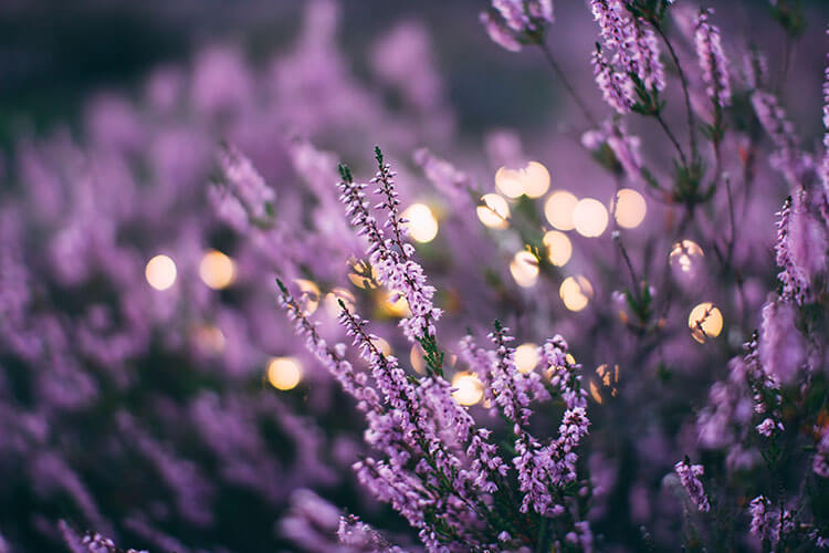Lavender for relaxing