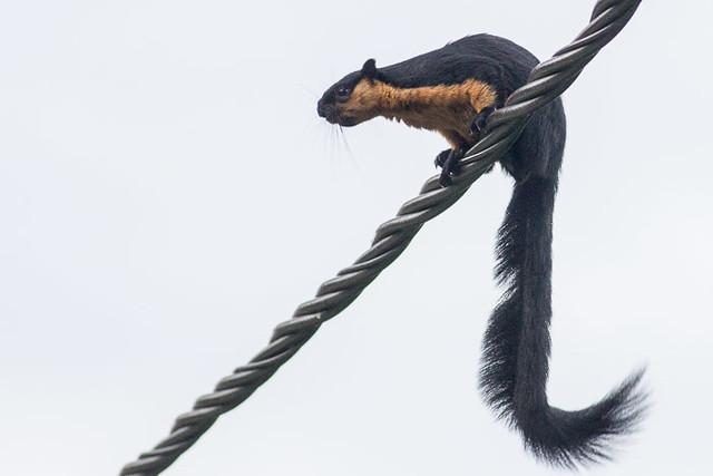 Giant Black Squirrel